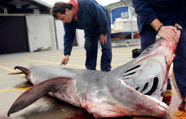 Un pesquero de Vizcaya atrapa un tiburón de cuatro metros cerca de la costa