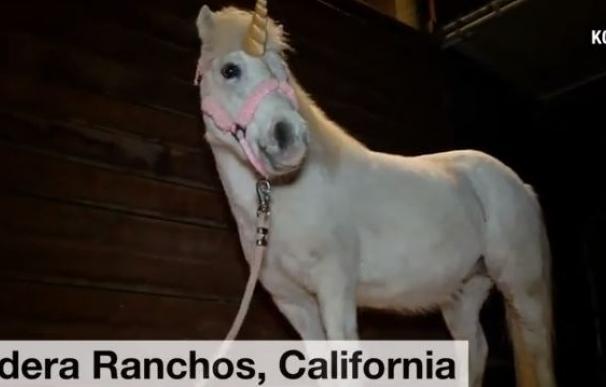 Un unicornio blanco se escapa de una sesión de fotos y protagoniza una persecución policial
