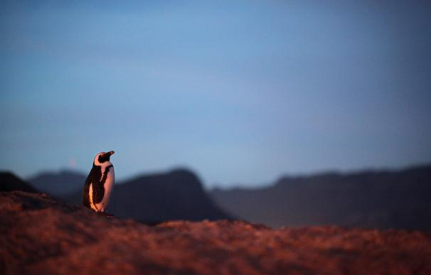 La colonia de pingüinos más famosa de Sudáfrica reduce su número a marchas forzadas.
