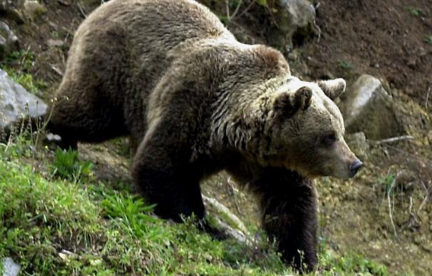 Confirman la autenticidad de huellas de oso pardo en O Courel, pero no un asentamiento