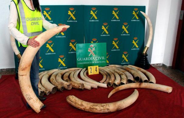 La Guardia Civil interviene en Barcelona 24 colmillos de elefante sin documentación de origen