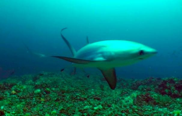 Hay 30 especies de tiburón y 26 de raya en el mar balear, la mayoría amenazadas