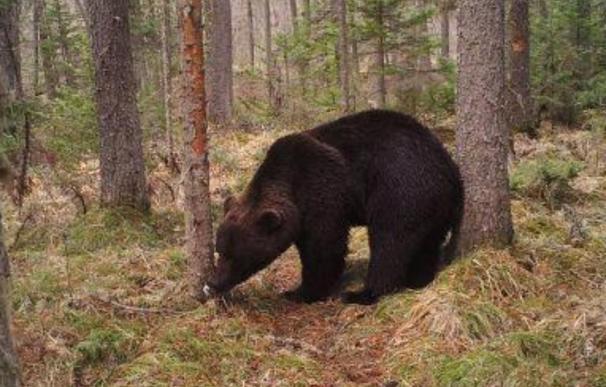 En los cuatro distritos de la región rusa de Irkutsk viven 13.000 osos