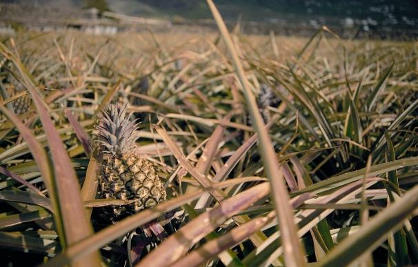Autorizan el uso de tres fitosanitarios en el cultivo de la piña tropical de El Hierro para evitar plagas