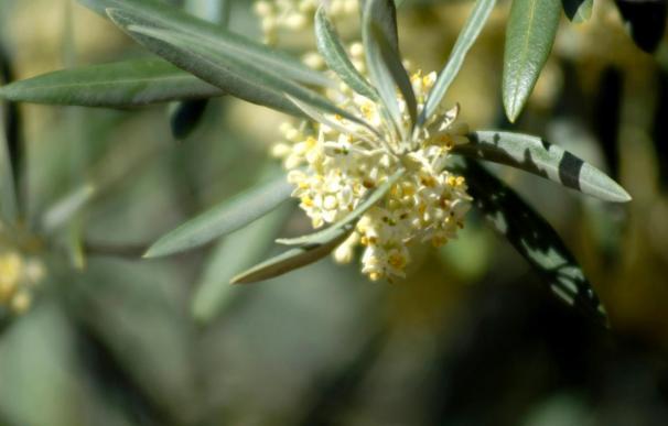 Secuencian el genoma de la bacteria responsable de la tuberculosis del olivo