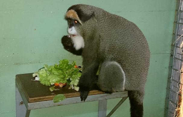 Cabárceno suma una nueva especie con la llegada de cinco monos de Brazza