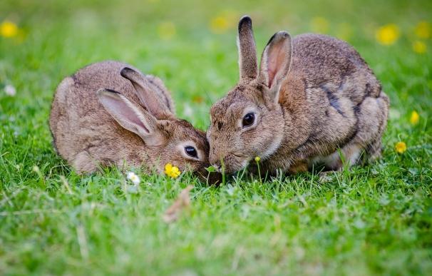 Un prometedor anticonceptivo masculino inyectable demuestra su eficacia en conejos