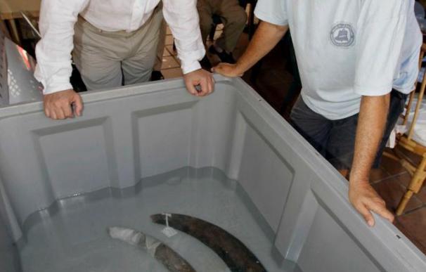 Extraen en Murcia el mayor cargamento de marfil de un barco fenicio