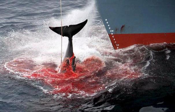 Japón suspende la caza de ballenas