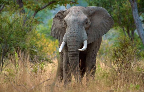 La Policía de Tanzania incauta 1,8 millones de euros en colmillos de elefantes