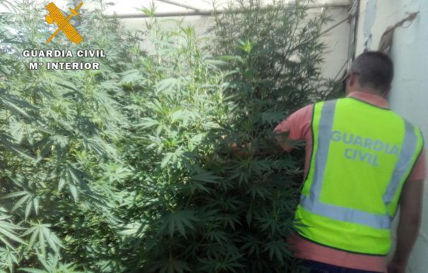 Desmantelada una plantación de marihuana y detenidas dos personas por su cultivo en Lucena