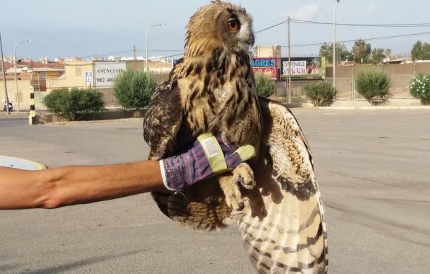 Efectivos de Protección Civil de Águilas rescatan a un búho herido en el paraje de Peñaranda