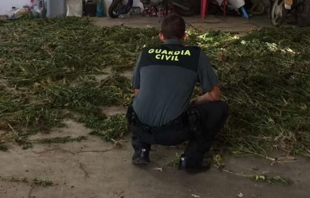La Guardia Civil interviene 1.535 plantas de marihuana en una finca de Almonte