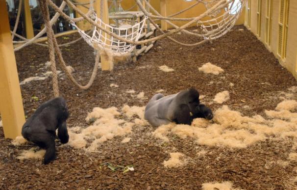 Muere por accidente el bebé gorila nacido en Cabárceno, que sufrió un aplastamiento por un movimiento brusco de su madre