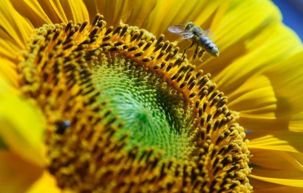 El descenso en la población de abejas de EE.UU. pone en peligro numerosas cosechas