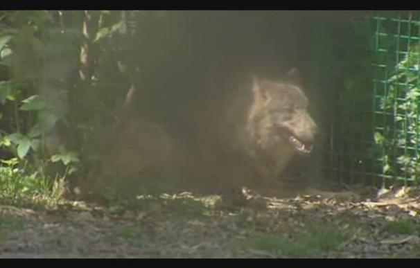 Encuentran dentro del recinto del Zoológico de Barcelona a las dos lobas que se escaparon