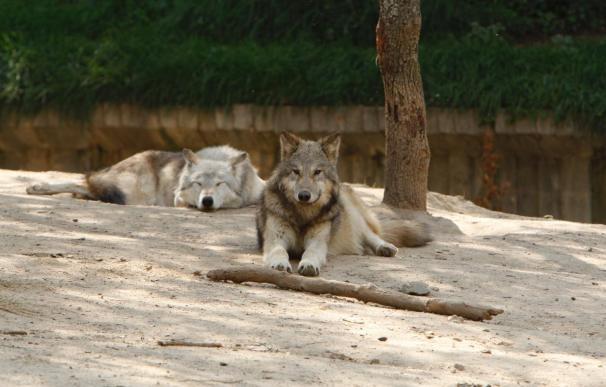 El Zoo de Barcelona revisará el recinto de lobos tras la fuga de dos ejemplares