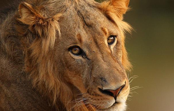 Leones africanos en vía de extinción