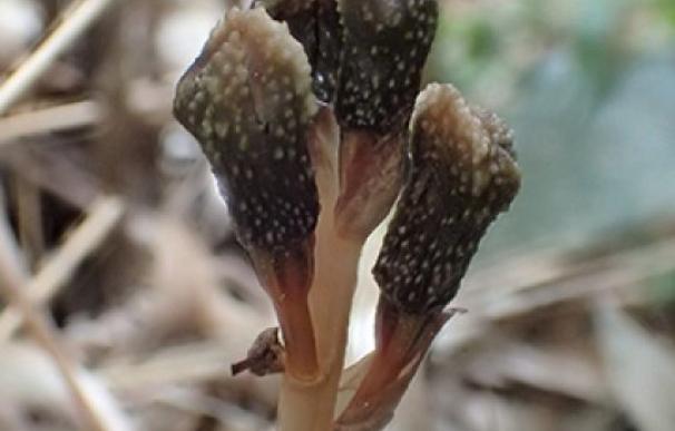 Descubren una planta extraña que no florece ni hace la fotosíntesis
