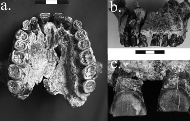 Tres perspectivas del maxilar OH-65. (a) Vista palatal; (b) Vista labial; (c) primer plano de los dos incisivos centrales que muestran la concentración de estrías labiales