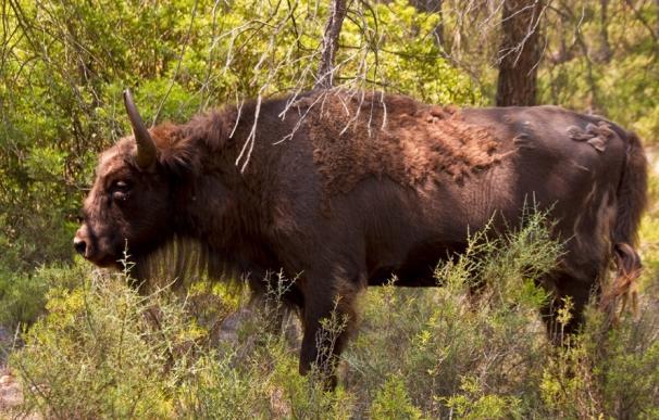 Investigan por maltrato animal a un responsable de la reserva de bisontes de Benagéber