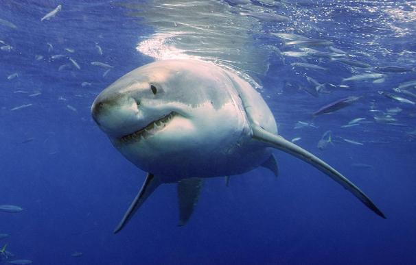 Cierran tres playas en California tras ataque de un gran tiburón blanco a un surfista