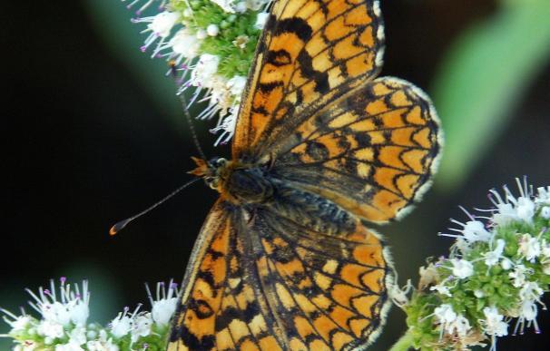 Una veintena de especies de mariposas del Mediterráneo están en peligro de extinción, según la UICN