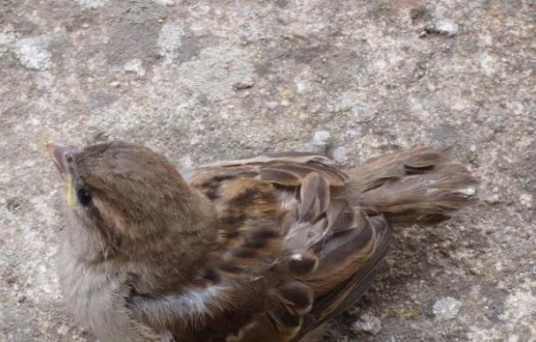 Detenido en Bangladesh por querer traficar con 600 pájaros de distintas especies