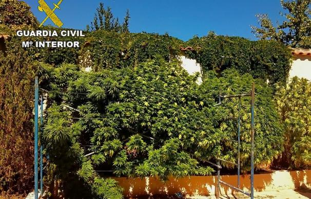 Ocho detenidos en Ciudad Real por cultivo de marihuana e intervenidas plantas con un peso de 630 kilos