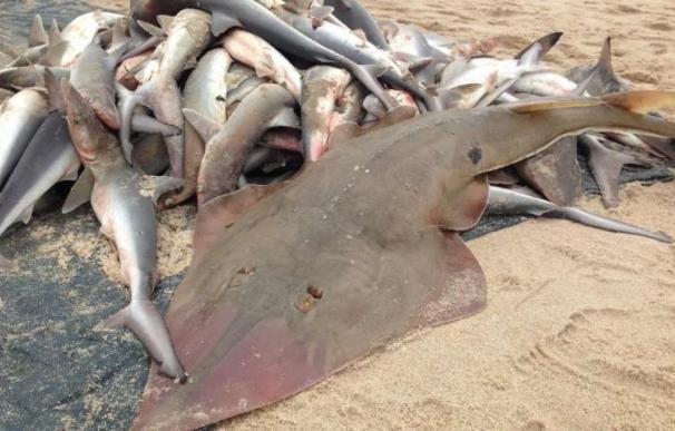 Oceana denuncia varios casos de supuesta pesca de arrastre ilegal en Mallorca