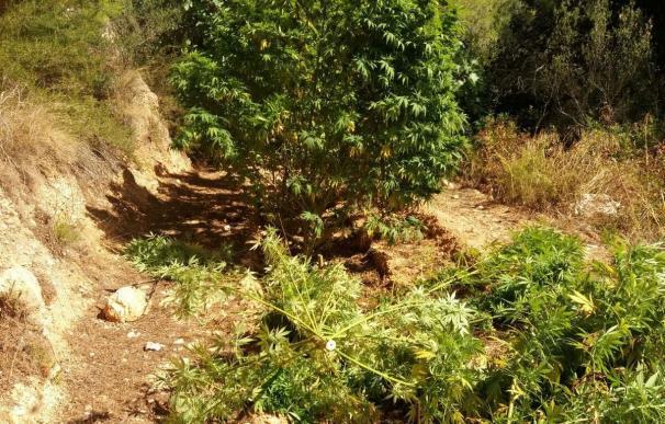 Un helicóptero de Mossos descubre 200 plantas de marihuana en fincas de Rasquera
