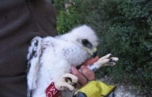 Salvar dos águilas adultas cada año en Catalunya haría sostenible esta especie