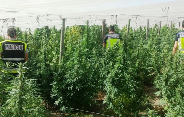 A prisión dos detenidos con una plantación de 800 kilos de marihuana en Alcolea