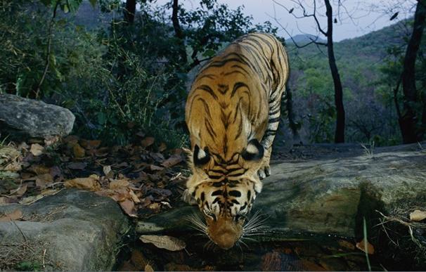 """WWF y Traffic denuncian que el tráfico ilegal de tigres sigue aumentando y acusa al """"eje"""" Laos, Vietnam y Tailandia"""