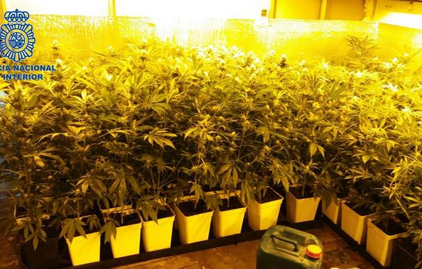 La Policía Nacional desmantela en Palma una plantación de marihuana con 350 plantas