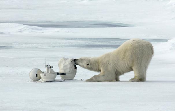 Un oso polar descubre la cámara espía