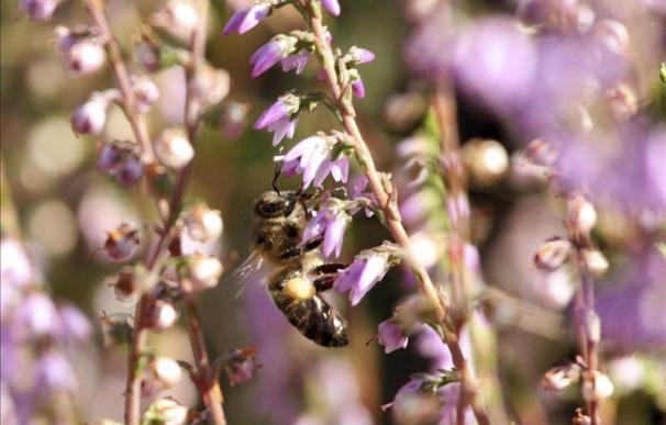 Desorientadas por un pesticida, las abejas mueren al no retornar a su colmena