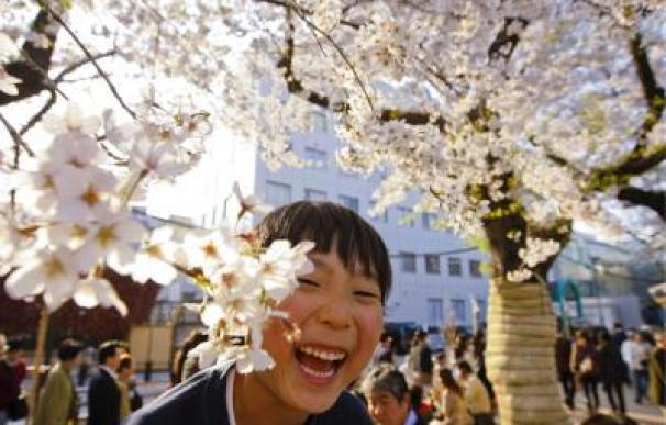 Un niño observa un cerezo en flor