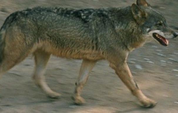 """WWF exige a Javier Fernández que detenga el """"exterminio oficial"""" del lobo en Asturias"""