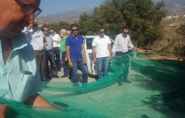 El Gobierno de Canarias apuesta por incorporar el cultivo del olivo a las ayudas POSEI