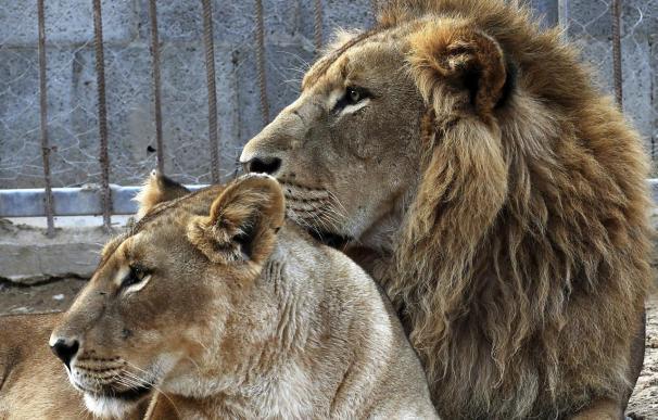 Un hombre herido grave al entrar en la zona de los leones del Zoo de Barcelona