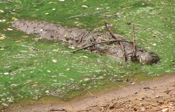 Cocodrilo de las marismas usando palos para atraer a sus presas