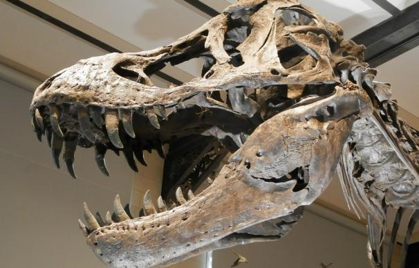 Fotografía del esqueleto de un dinosaurio.