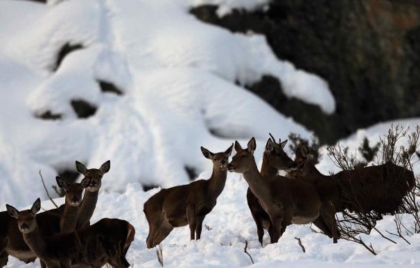 Venados en la nieve en el concejo de Aller (Asturias). EFE/José Luis Cereijido