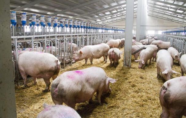 Fotografía de cerdos en una pocilga