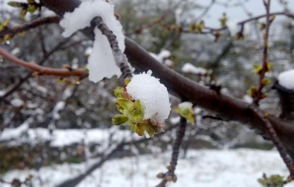 Cerezos del Valle del Jerte, cubiertos de nieve.