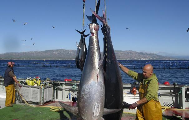 Captura de ejemplares de atún rojo