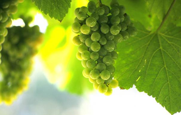Un racimo de uva de albariño.