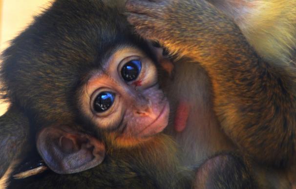 Talapoín, el primate más pequeño de África