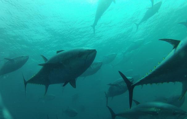 El Gobierno prohíbe la pesca de atún rojo a las modalidades deportiva y recreativa tras alcanzar ya su cupo atribuido